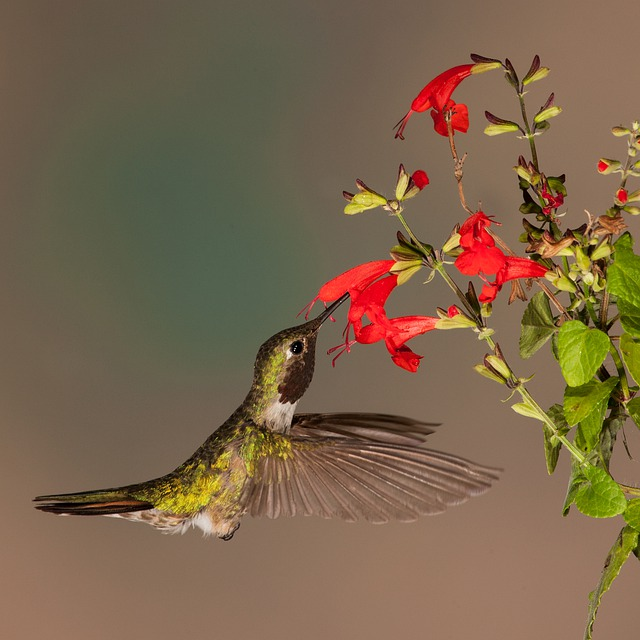 attracting hummingbirds with flowers